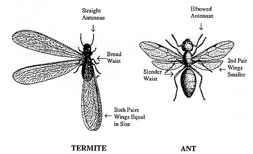 Termite and Ant